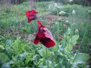 We encourage many plants to self seed in our garden, here an opium poppy.