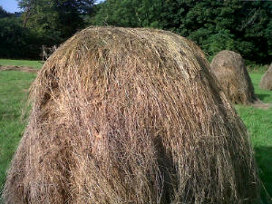 Yellow-green hay underneath the hat, suitable for storing for winter use.