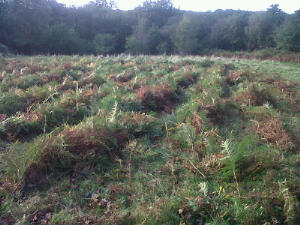 The end of the mowing - windrows of bracken