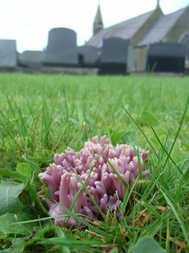 Clavaria zollingeri (Violet Coral) in Penboyr churchyard