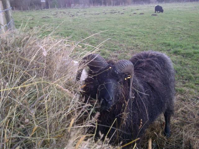 Bramble the Hebridean ram enjoying some hand made hay